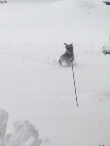 Sancho romping in the snow this afternoon.